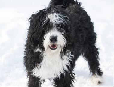 Labradoodle And Bernedoodle Parents